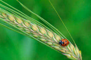 Ladybird, Image by Laurie Campbell