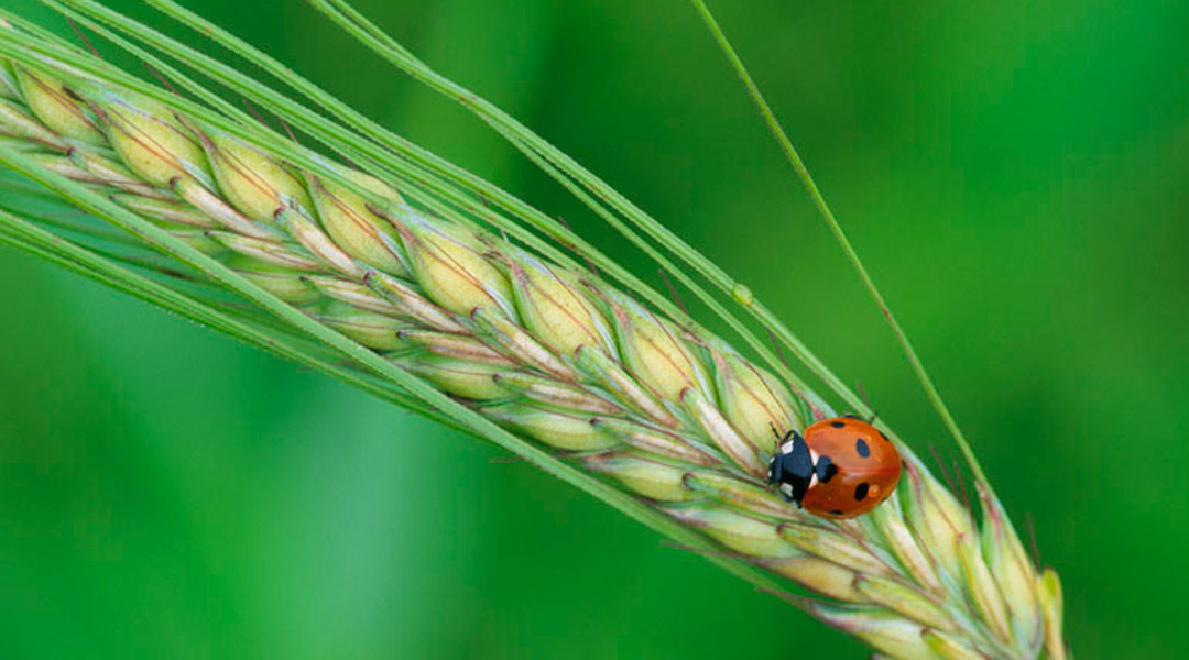 Seven Spot Ladybird. Image by Laurie Campbell