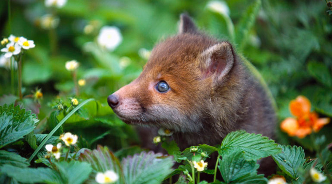 Fox Cub. Image by Laurie Campbell