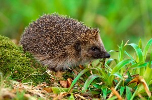 Hedgehog by Laurie Campbell