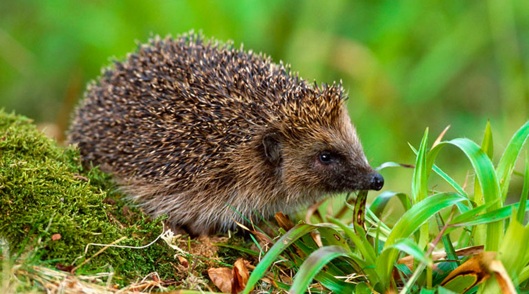 Hedgehog. Image by Laurie Campbell