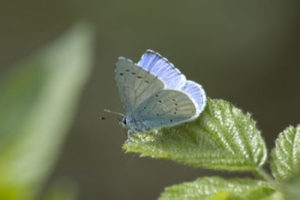 Holly Blue. Image by Andrew Crystal