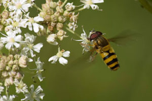 Hoverfly. Image by Carl Jervis.