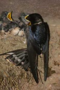 Swallow feeding young by Tommy Patterson