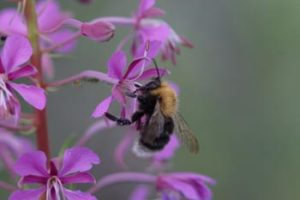 Tree bee. Image by BBCT