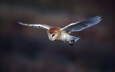 Wildlife & Nature to See in January : Barn Owls