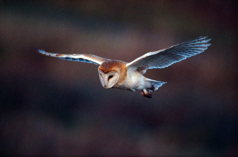 Barn Owl hunting, image by Laurie Campbell
