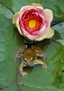 Common Frog. Image by Laurie Campbell.