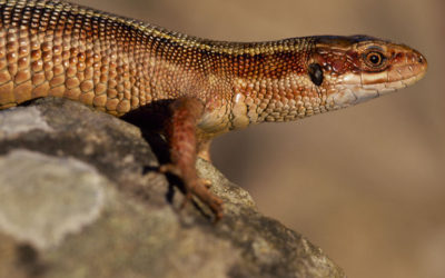 Wildlife to see in May – Common Lizard