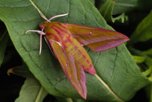Elephant Hawk Moth. Image by Laurie Campbell.