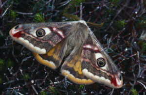 Emperor Moth. Image by Laurie Campbell.