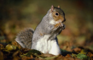 Laurie Campbell: Grey squirrels have enjoyed rapid population increased but are now becoming under threat themselves.