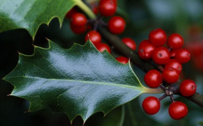 Wildlife to see in December – Holly