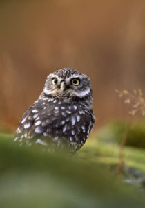 LIttle Owl. Image by Laurie Campbell.