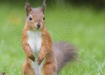 How to: Photograph Red Squirrels