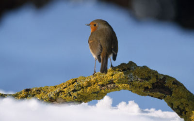 Wildlife to see in December – Robins