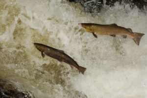 October is a great time to see leaping salmon. Image by Laurie Campbell.