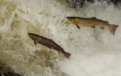 Wildlife to see in October – Salmon