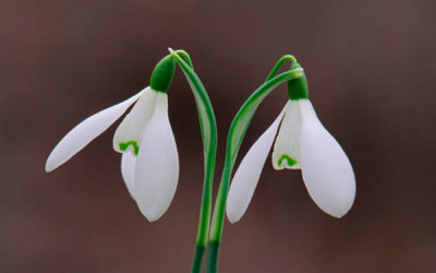 Wildlife & Nature to See in January : Snowdrops