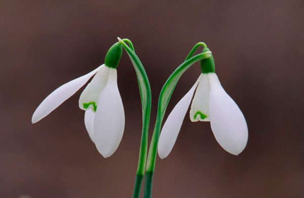 Snowdrops by Laurie Campbell