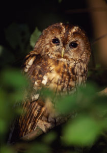 Tawny Owl. Image by Laurie Campbell.