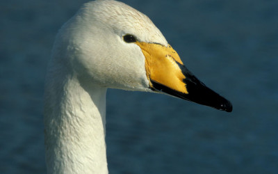 Wildlife & Nature to See in February : Swans