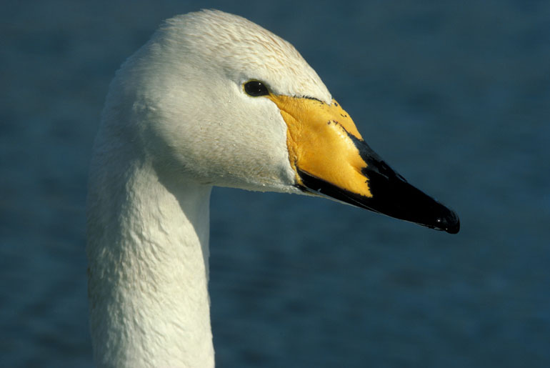 Whooper Swan. Image by Laurie Campbell