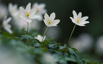 Wildlife to see in March – Wood Anemones