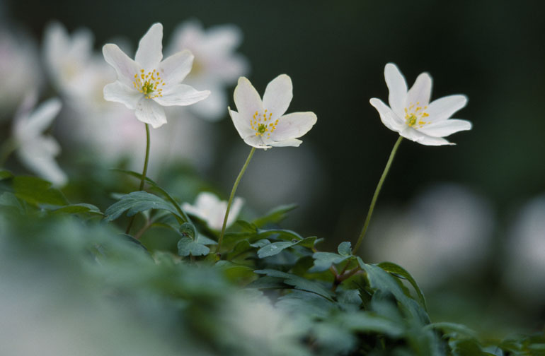 Wood Anemone. Image by Laurie Camobell.