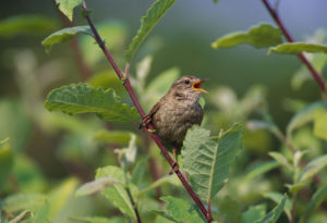 Wren. Image by Laurie Campbell.